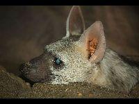 Aardwolf image