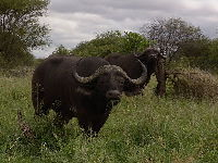 African Buffalo image