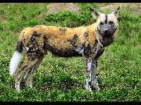 African Wild Dog image