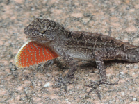Brown Anole image