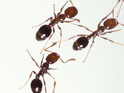 Ant  -  Fire Ant