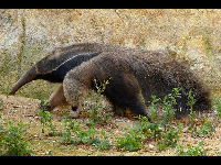 Anteater image