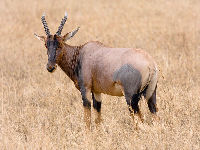 Antelope image
