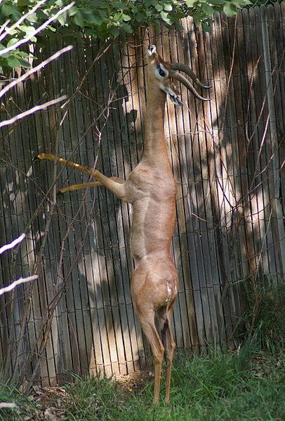 Antelope Gerenuk Information