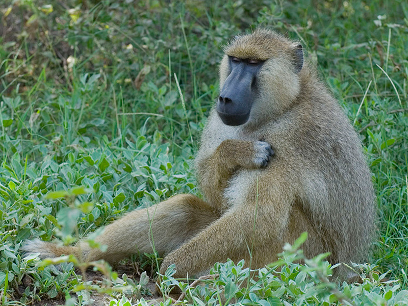 Baboons habitat adaptations and impact of