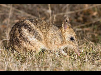 Eastern Barred Bandicoot image
