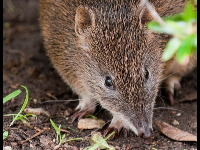 New Guinean Spiny Bandicoot image