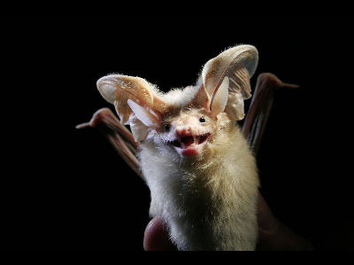 Bat  -  Desert Long-eared bat
