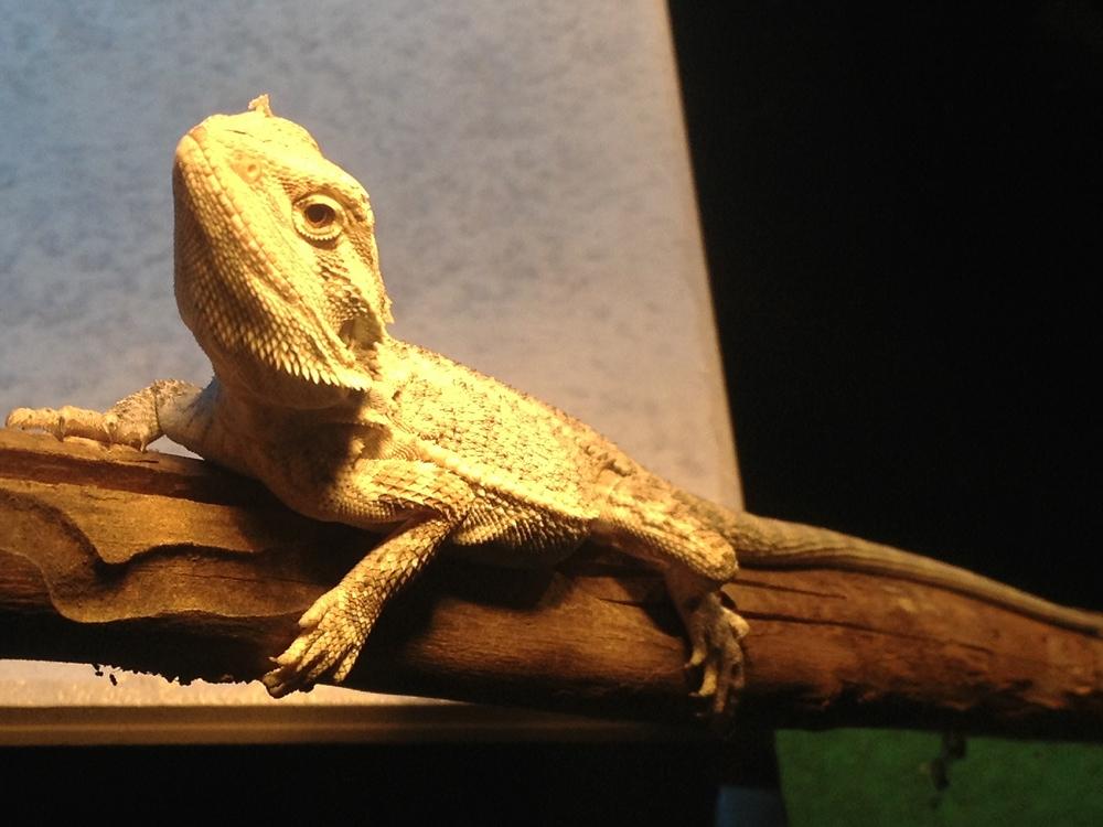 Bearded Dragon Info Photo 5