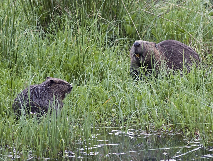 Beaver Eurasian Beaver Information For Kids