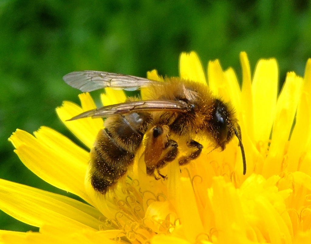 Bee - Honey Bee Info -...