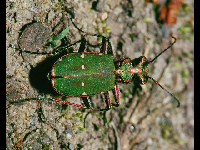 Green Tiger Beetle image