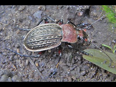 Beetle  -  Reticulated Ground Beetle