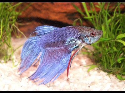 Betta siamese fighting fish information for kids for Siamese fighting fish crossword