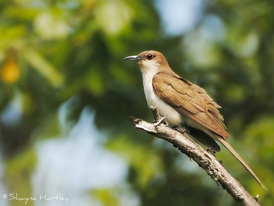 Black cuckoo bird - photo#23