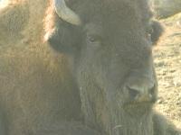 Bison image