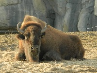American Bison image