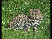 Black-footed Cat image