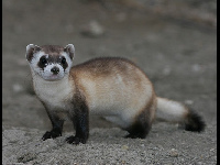 Black-footed Ferret image