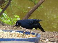 Bowerbird image
