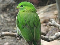Green broadbill image