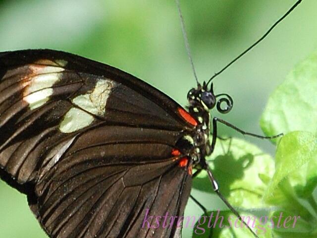 Butterfly Longwing Info Photo 5