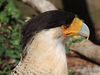 Northern Crested Caracara image