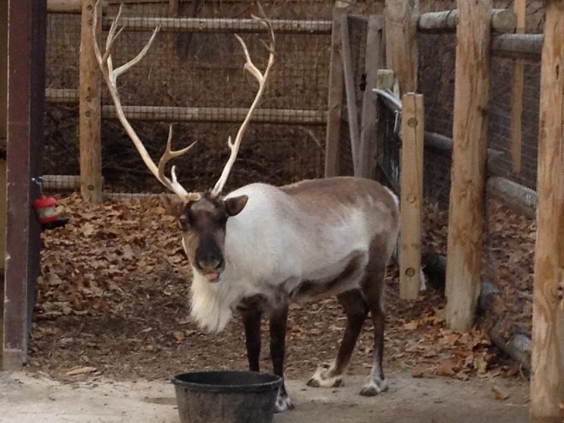 Caribou Info Photo 2
