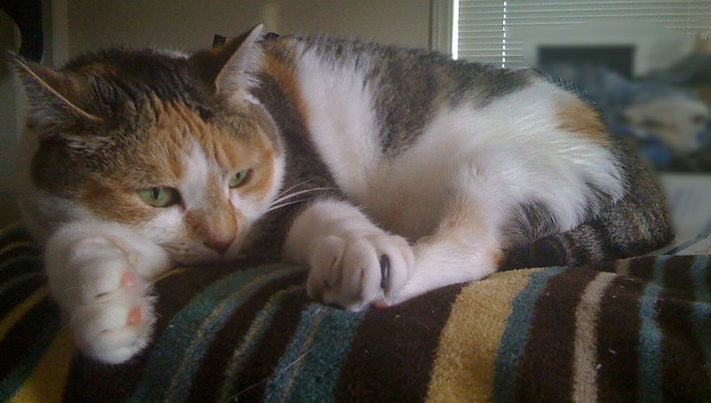 cat calico cat information for kids
