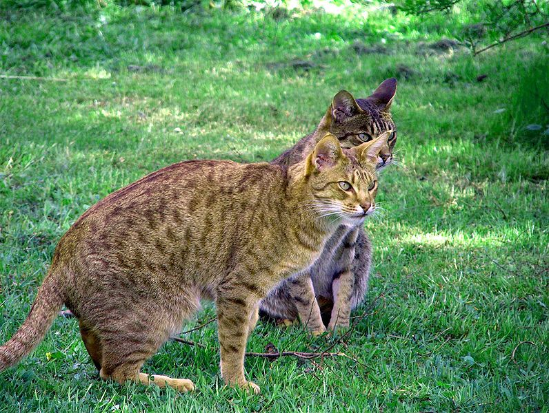 Cat ocicat information for kids