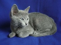 Russian Blue image