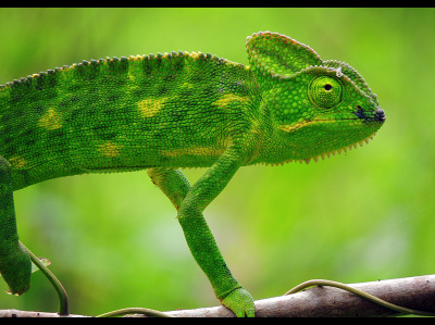 how to draw a chameleon video