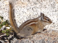 chipmunk/chipmunk_Yellow-pine_Chipmunkimage1