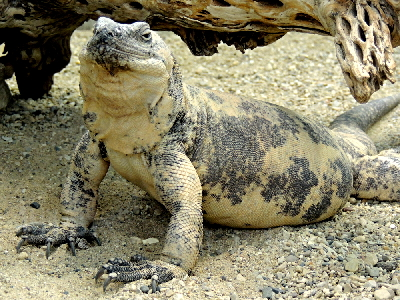 chuckwalla info photo 3