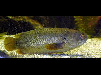 Climbing Perch image