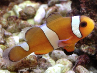 Clownfish information for kids for What do clown fish eat
