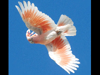 Cockatoo image