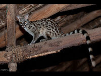 Common Genet image