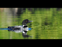 Common Loon image
