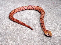 Copperhead image