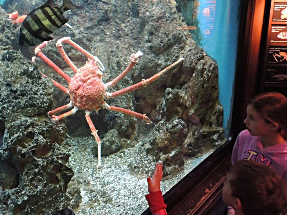 Spider crab - photo#12