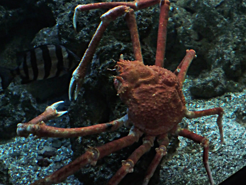 Crab Japanese Spider Crab Information For Kids