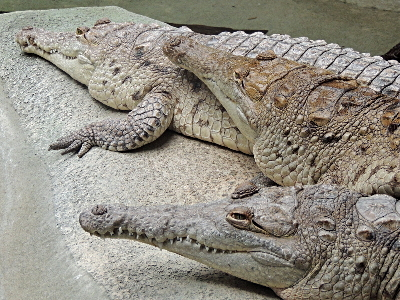 Crocodile  -  Orinoco Crocodile