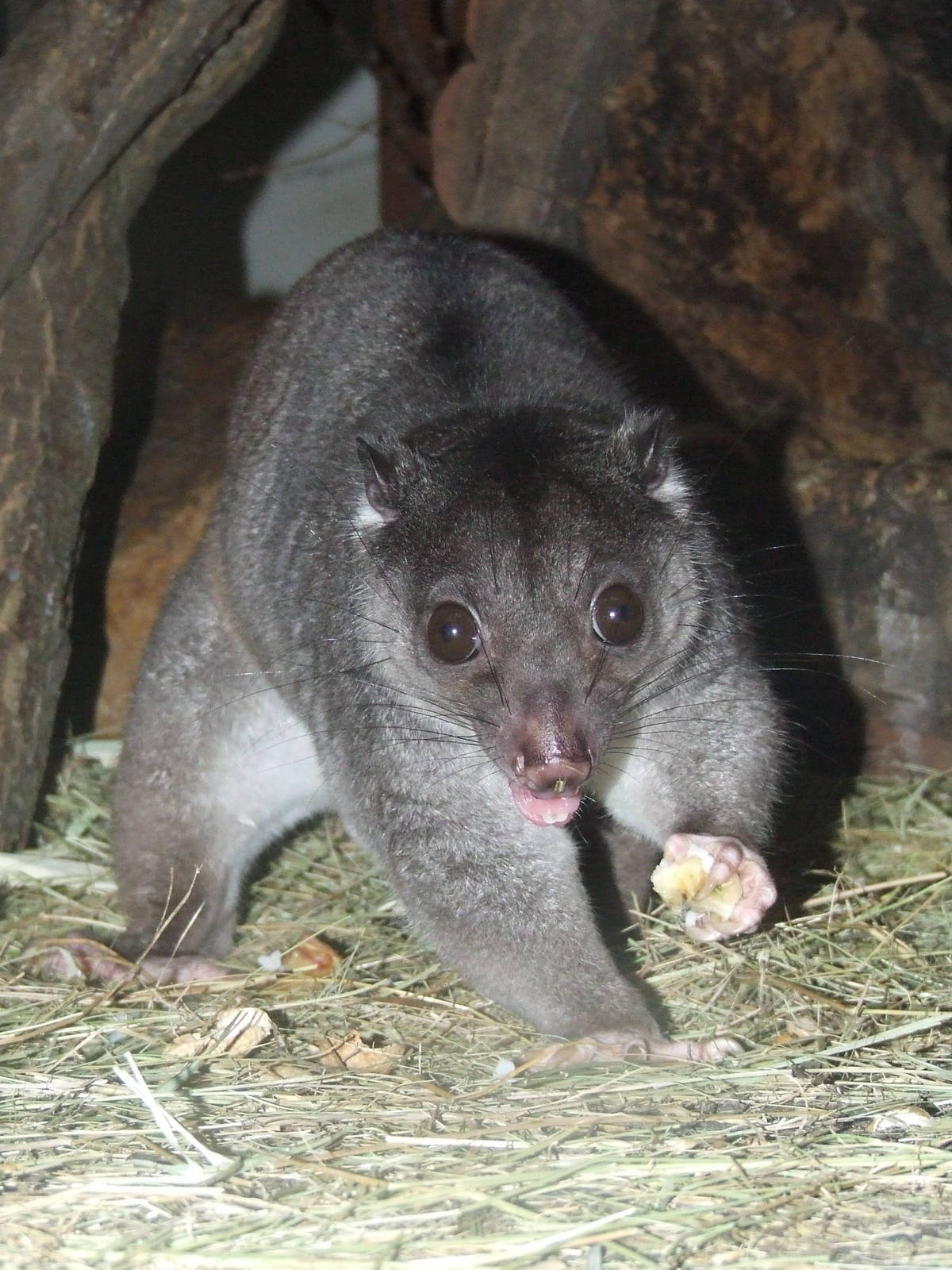 cuscus ground cuscus information for kids
