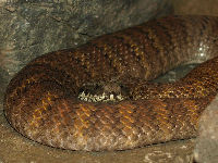 Death Adder image