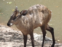 Tufted Deer image