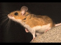 Deer Mouse image