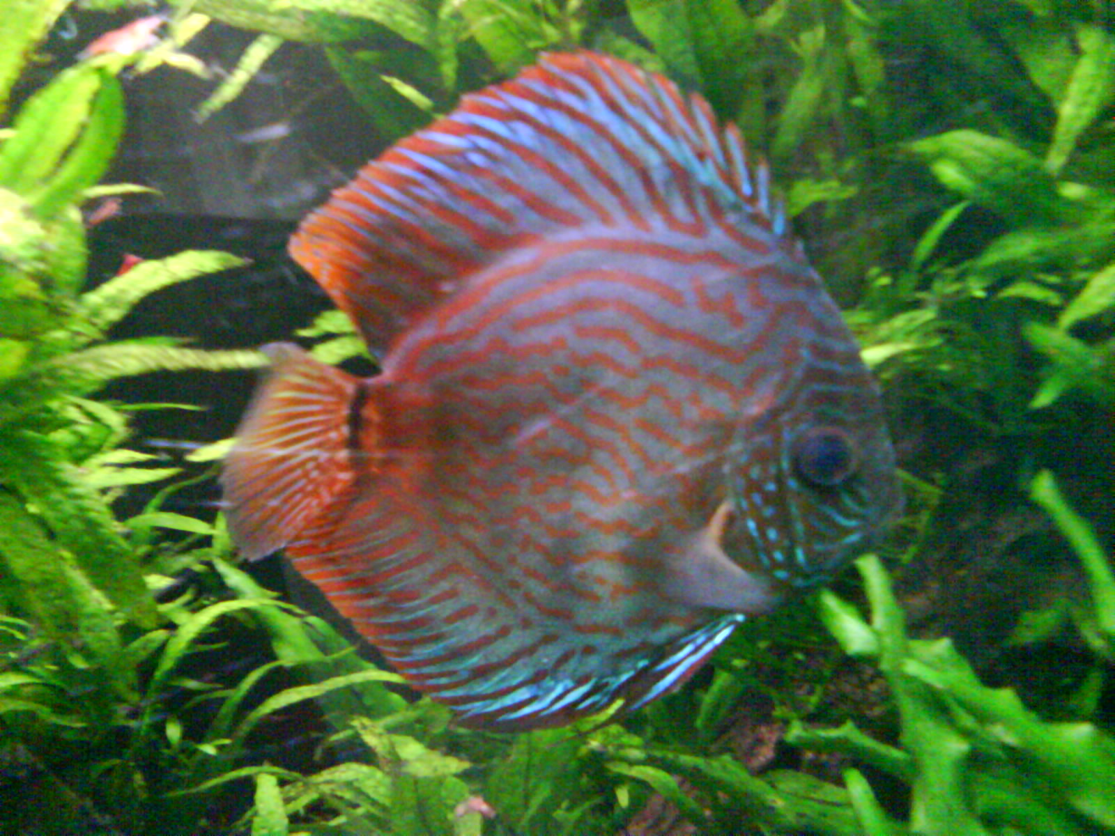 Discus fish varieties list all about betta fish types for Discus fish types