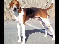 American Foxhound image