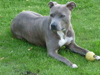 American Staffordshire Terrier image
